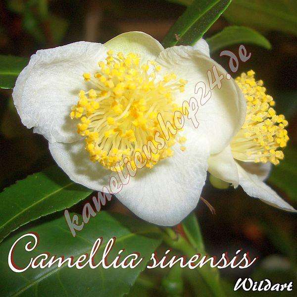 camellia sinensis preisgruppe 2. Black Bedroom Furniture Sets. Home Design Ideas