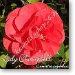 Camellia japonica Lady Champbell