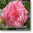 Camellia japonica William Bartlett